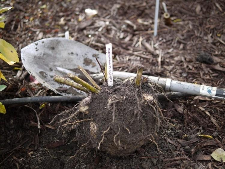 Как подготовить георгины к зиме: уход осенью и подготовка клубней к хранению во время зимовки по пошаговому рецепту