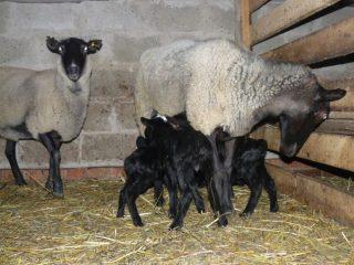 Романовская порода овец: характеристика
