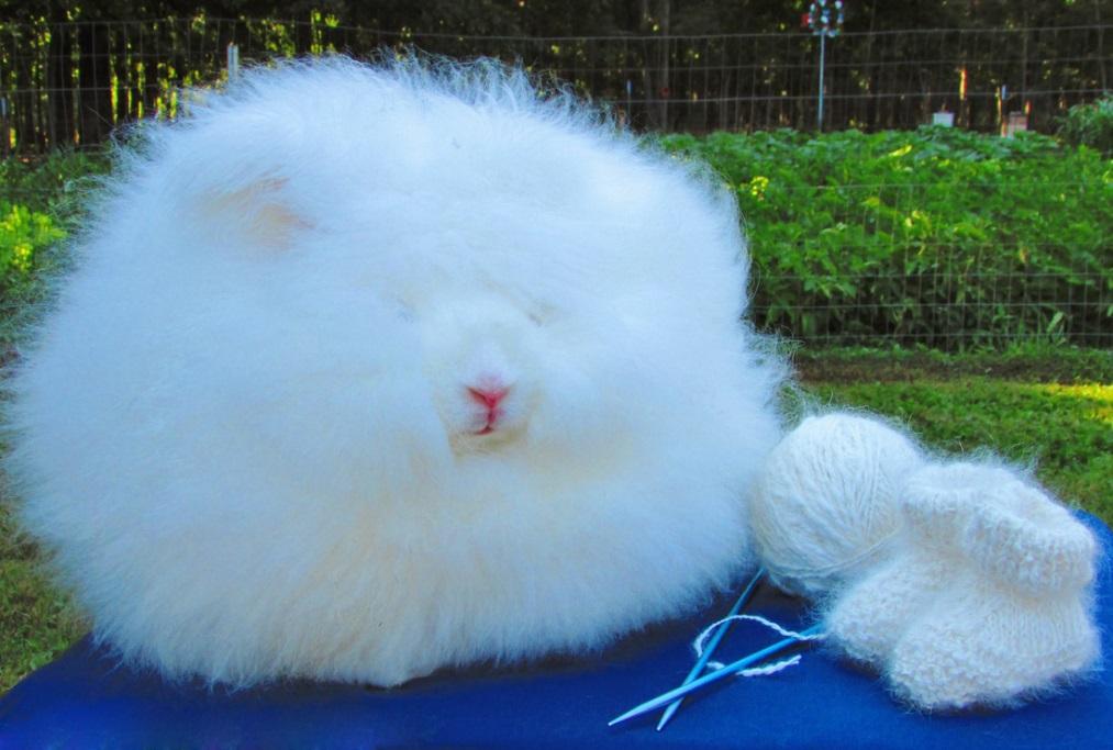 Кролик декоративный ангорский вязка