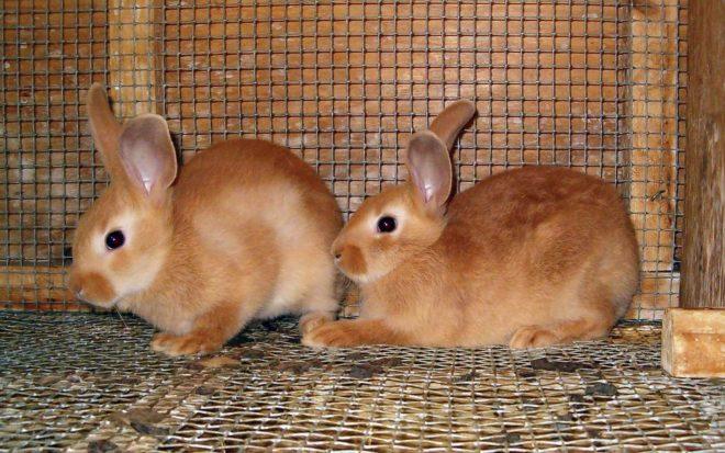 Содержание карликовых кроликов в домашних условиях