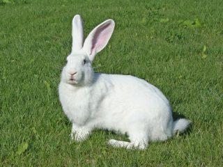Кролик белый великан: описание породы, характеристика + фото