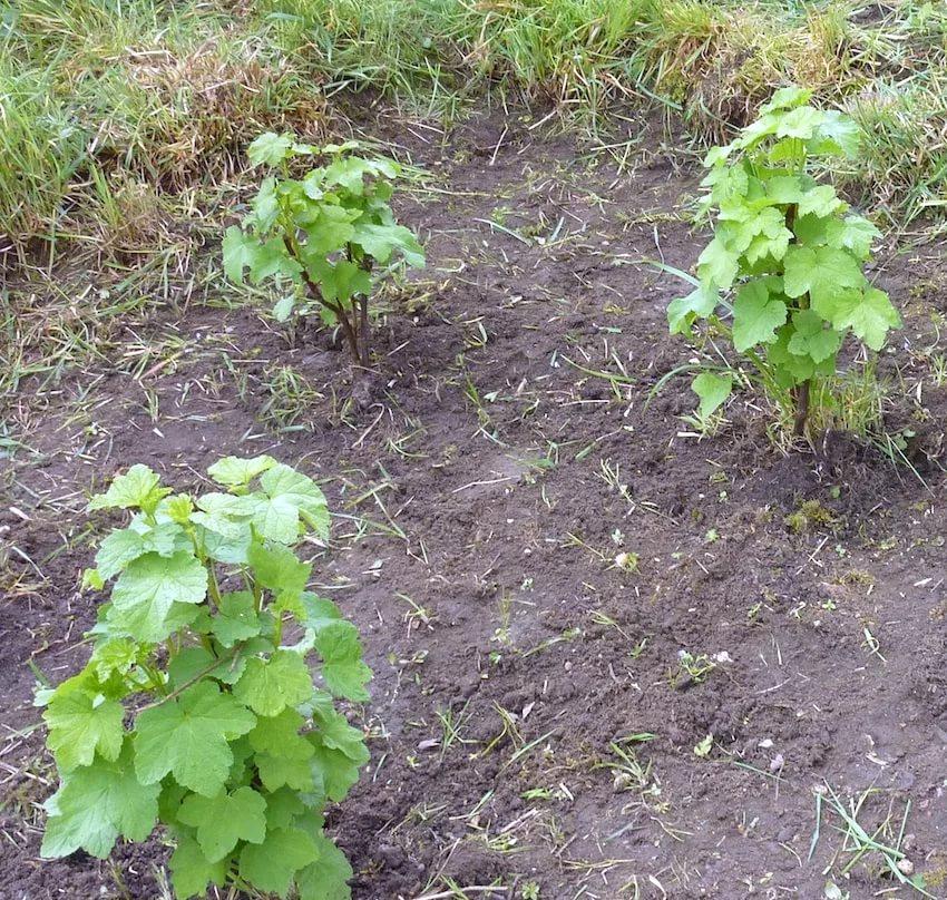 как посадить смородину черенками осенью видео