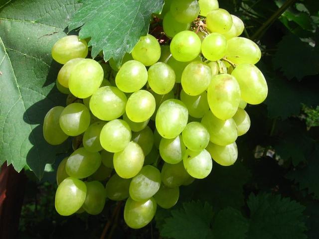 Сорт винограда Алшенькин щедрость русской земли