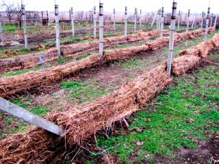 Укрытие винограда на зиму в Сибири