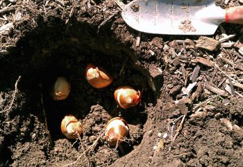 Когда сажать тюльпаны в сибири осенью