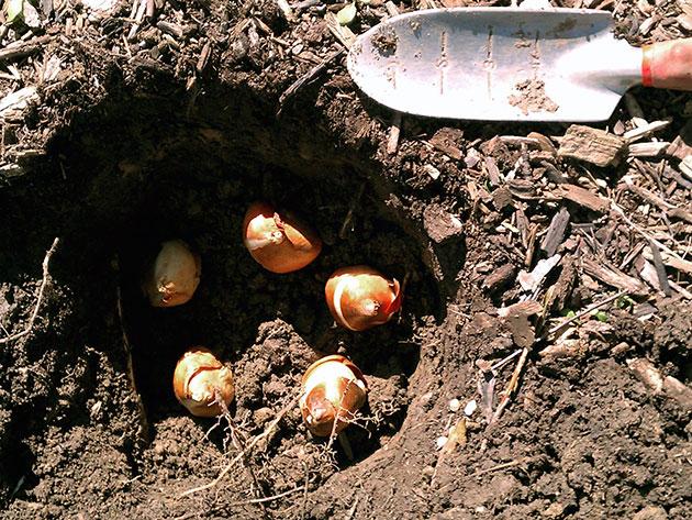 Посадка тюльпанов в осенью в сибири