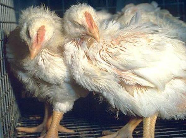 Кокцидоз у курчат