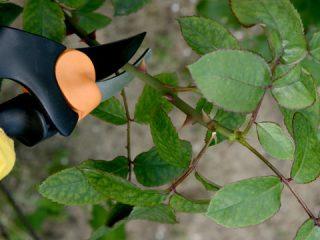 Как укрывать чайно-гибридные розы на зиму