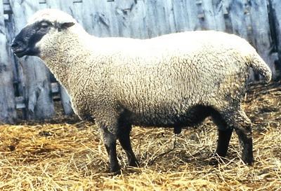 Мясные породы овец овцы мясного направления