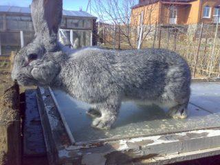 Кролик серый великан: описание породы, фото, отзывы