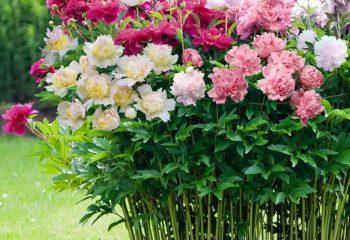 Древовидный пион Любимые цветы 45