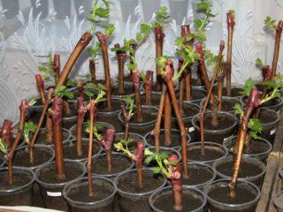 Размножение винограда черенками осенью