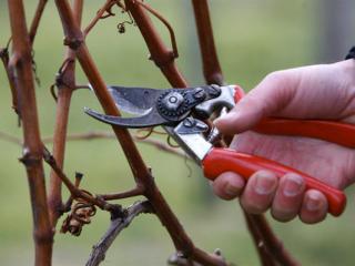 Обрезка винограда осенью 1, 2, 3 года