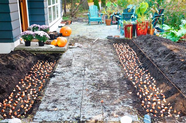 Когда садить тюльпаны осенью в удмуртии