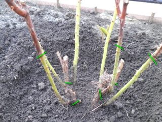Кустовая роза: обрезка на зиму