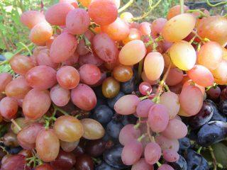 Виноград: сорта по алфавиту с фото