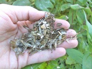 Как собрать семена цинии в домашних условиях