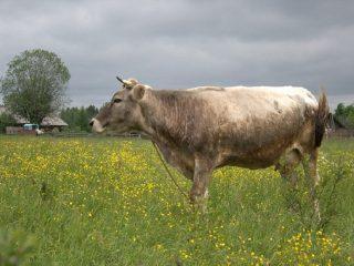 Костромская порода коров: особенности содержания