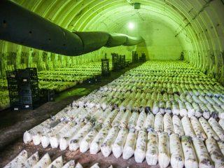 Промышленное выращивание белых грибов