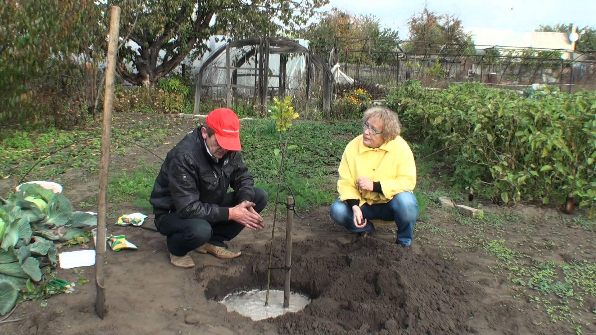 Посадка яблонь осенью ⋆ Как правильно посадить саженец осенью