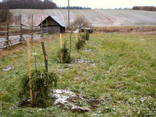 Как посадить яблоню осенью на Урале