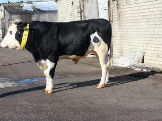 Корова ярославской породы: характеристика, фото, отзывы
