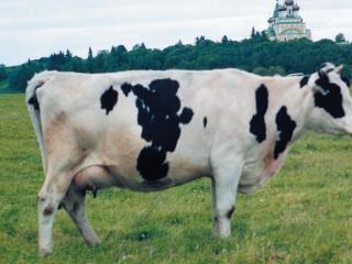 Порода коров холмогорская: особенности содержания и разведения