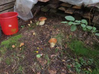 Выращивание белых грибов с помощью мицелия