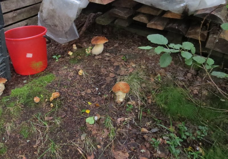 как сажать мицелий белых грибов видео