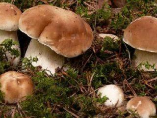 Как вырастить белые грибы на участке