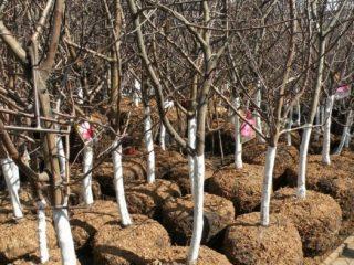 Посадка яблонь осенью в Ленинградской области