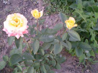 Осенний уход за садовыми розами