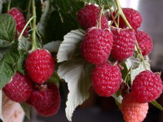 Лучшие сладкие сорта малины для Сибири