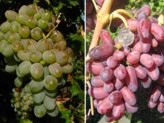 Виноград Оригинал: розовый, черный