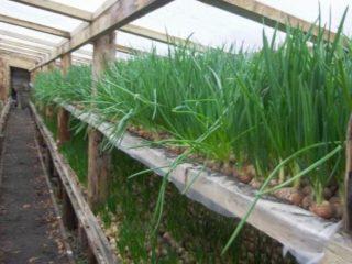 Как вырастить зеленый лук в теплице зимой