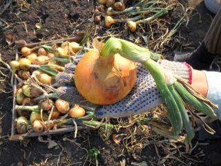 Сорта лука под зимнюю посадку