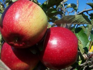 Сорт яблони Лигол: фото и описание сорта