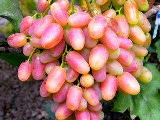 Виноград сорта Юлиан: подробное описание, фото, отзывы