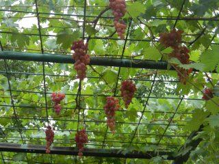 Виноград Арочный: описание сорта, фото, отзывы