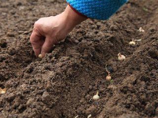 Когда садить лук под зиму на Урале