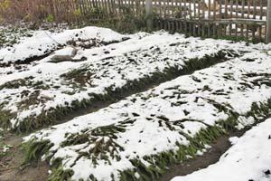 Сорта и правила посадки лука в Подмосковье