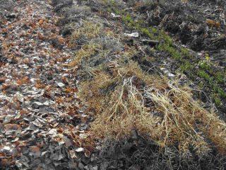 Посадка лука-севка осенью под зиму