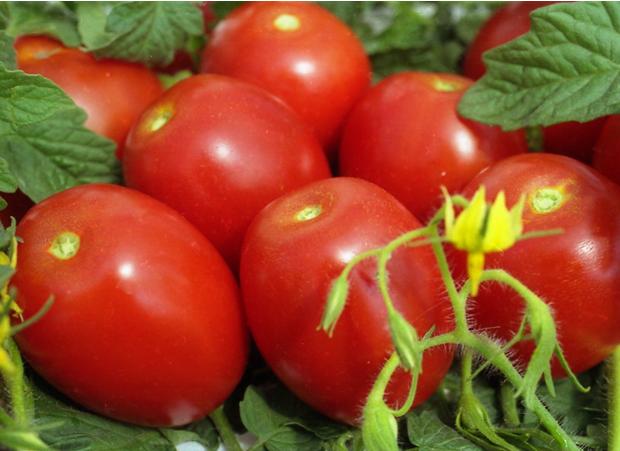 Как выращивать томаты сорта Челнок