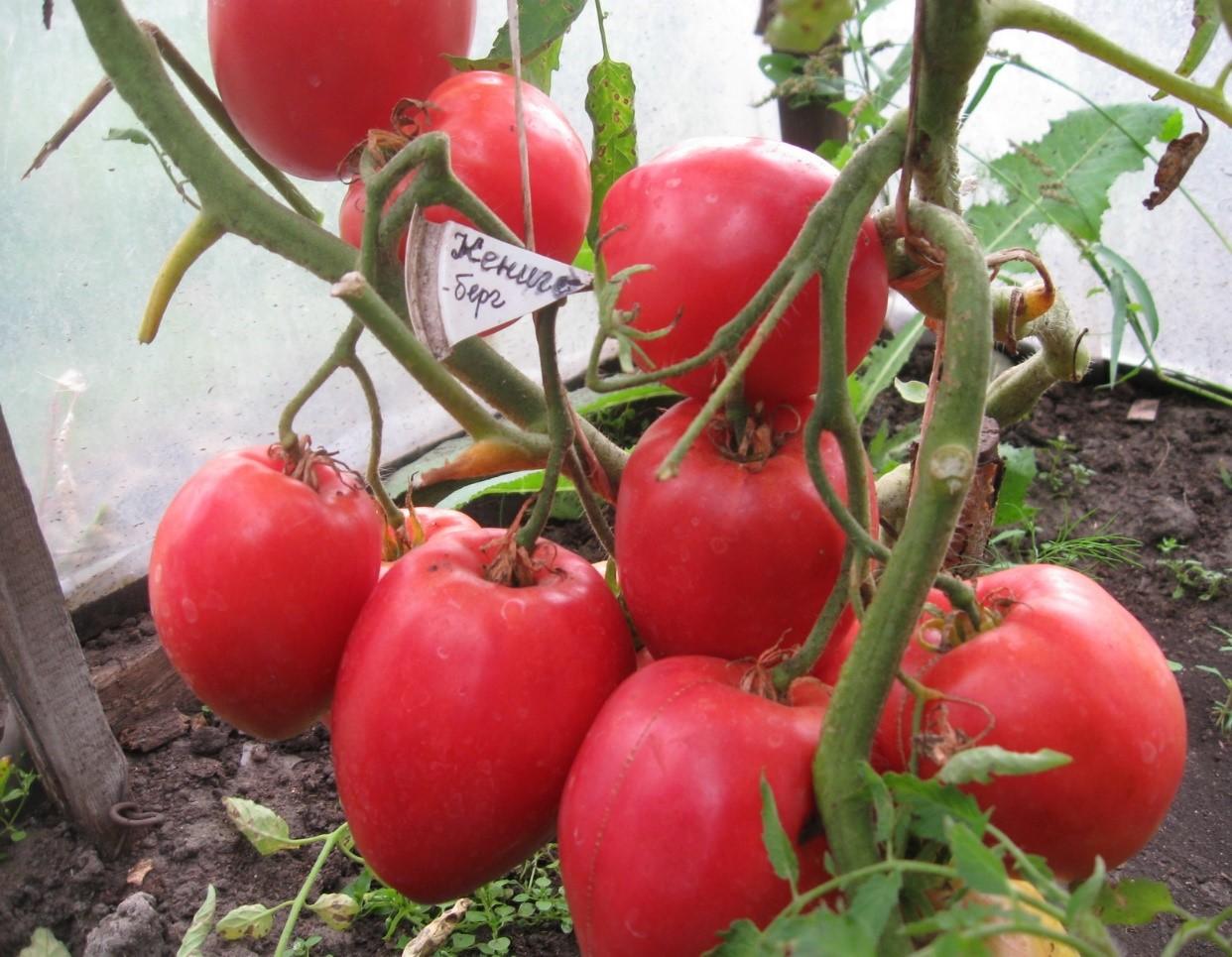 Какие сорта томатов для открытого грунта являются самыми урожайными