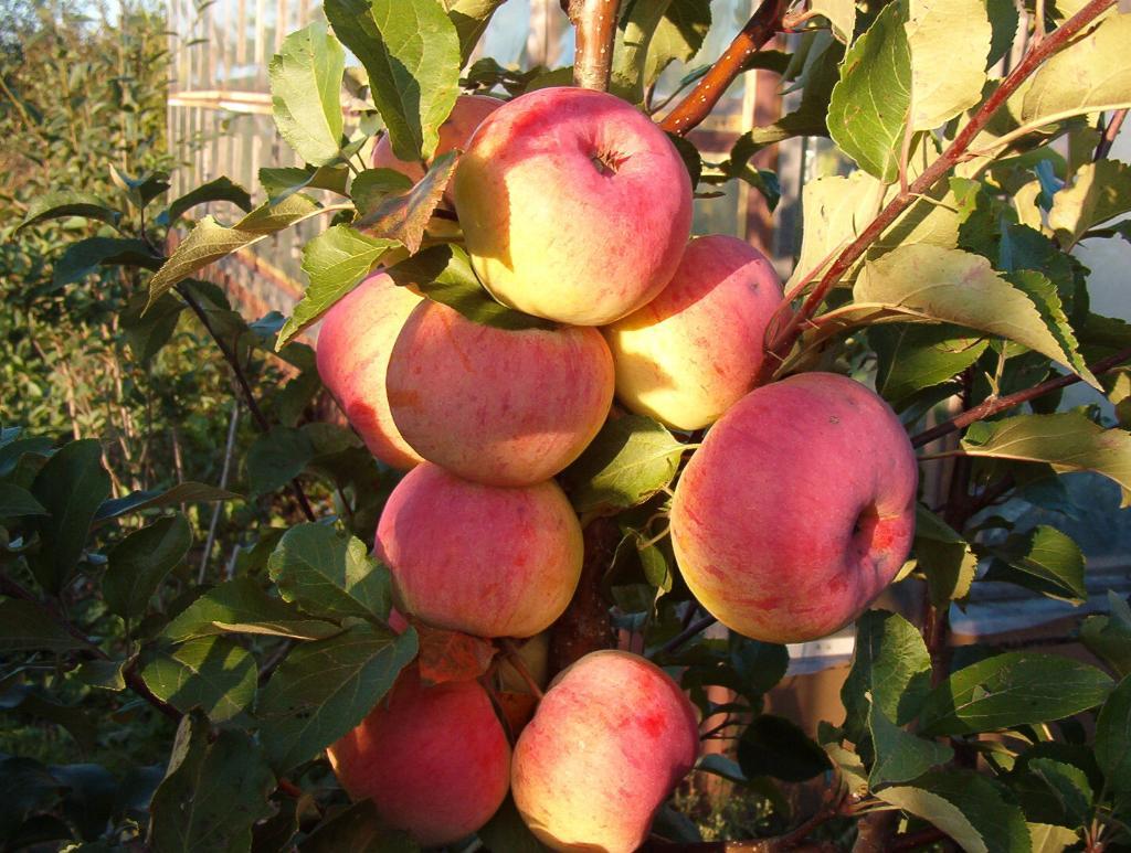 Яблоня Услада в вашем саду