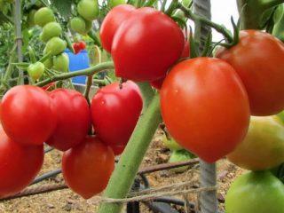 Томат Столыпин: отзывы фото урожайность