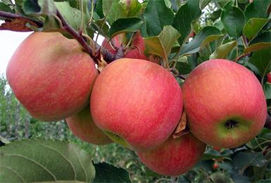 Яблоня «Чемпион»: описание сорта, посадка, выращивание и уход