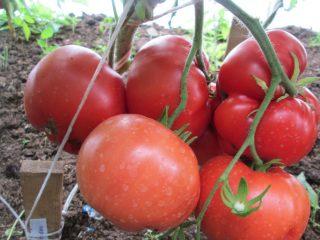 Томат Бабушкино: отзывы, фото, урожайность