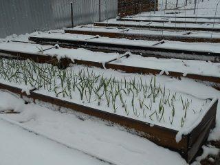 Посадка лука и чеснока под зиму