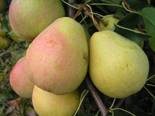 Достоинства и недостатки сорта груши Велеса